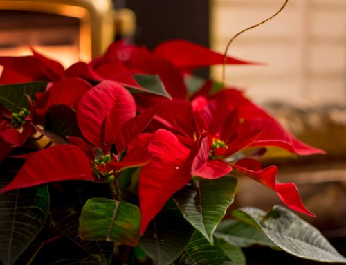 Poinsettias Brighten the Holidays