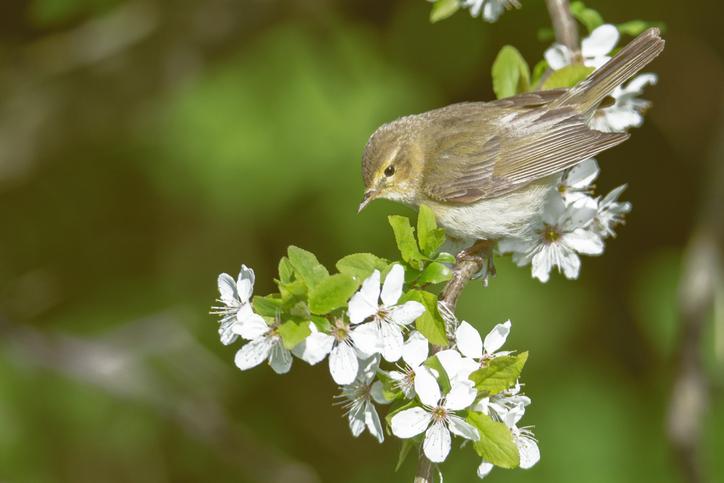 Bird chifchaff on flowering plum tree branch in spring