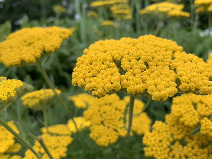 Beautiful perennial flower Yarrow blooming in Spring.  iPhone