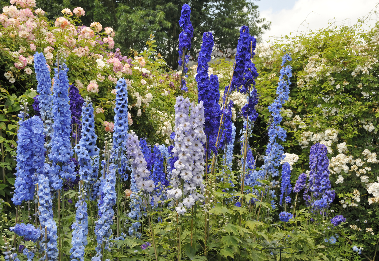 Flower bed with beautiful blooming blue delphinium flowers against a background of roses in the garden in summer.