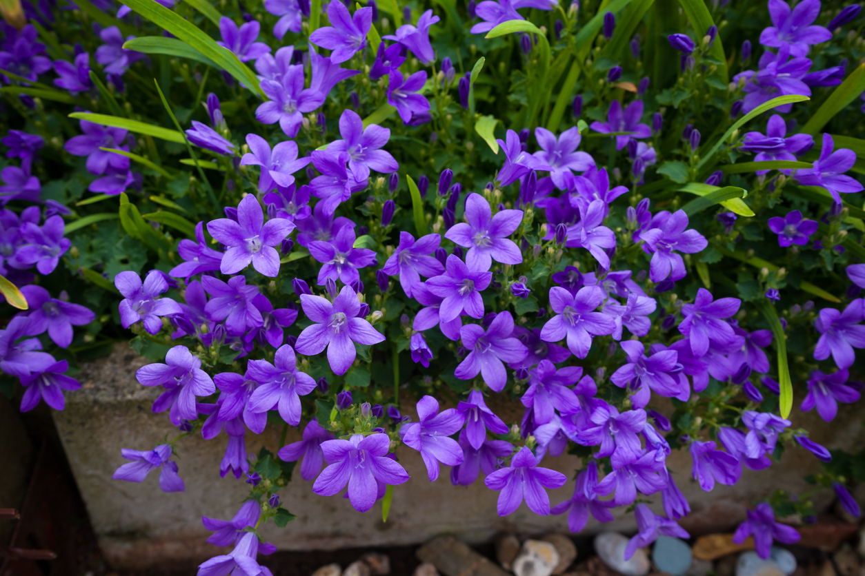 Violet colored Campanula muralis flowers as a background growing in the garden.