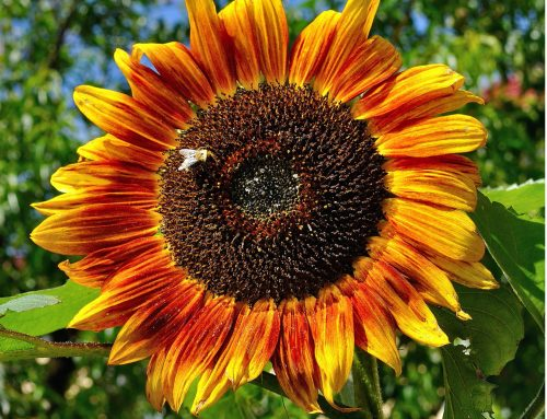 It's the Year of the Sunflower!